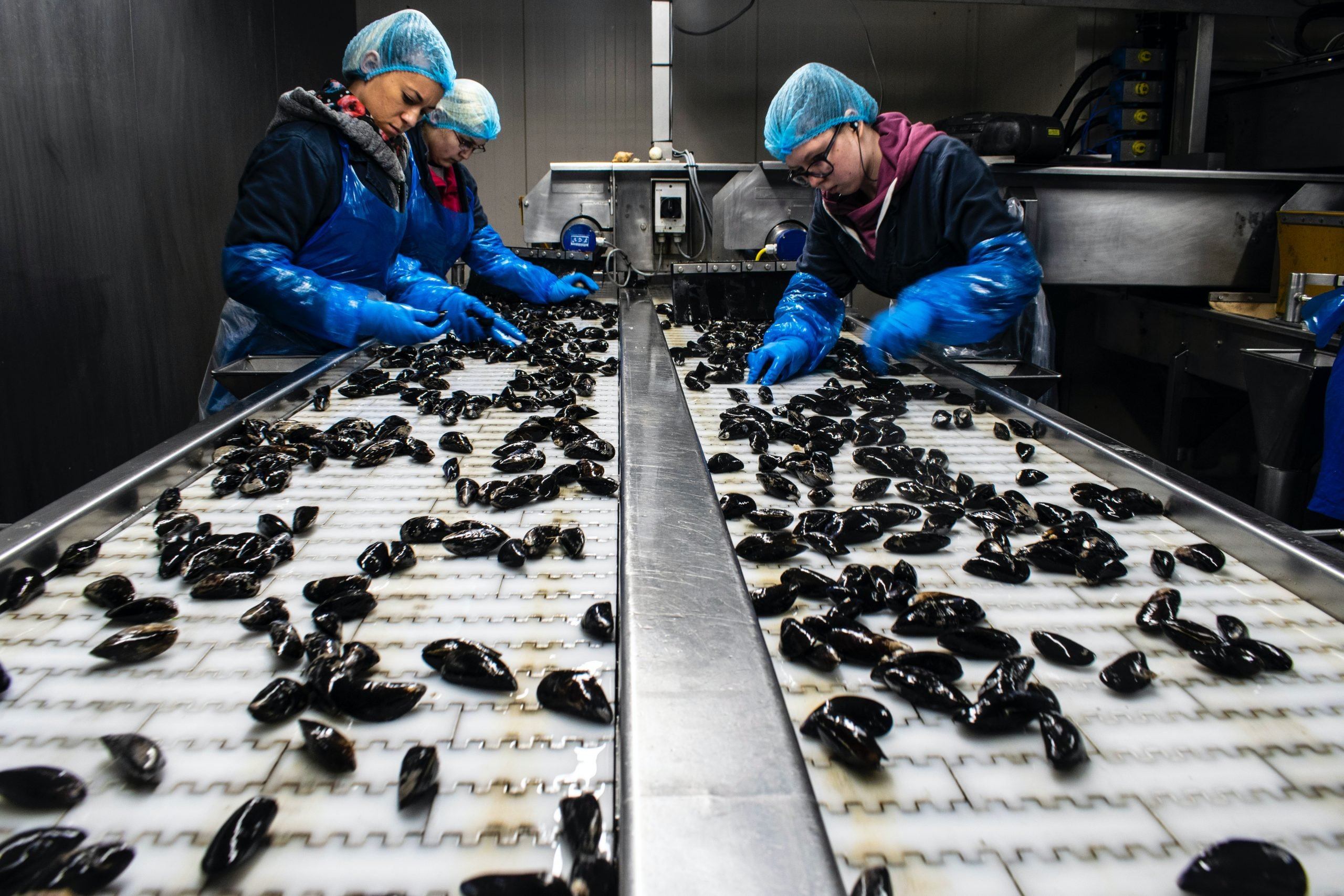 Sorting Fresh Mussels